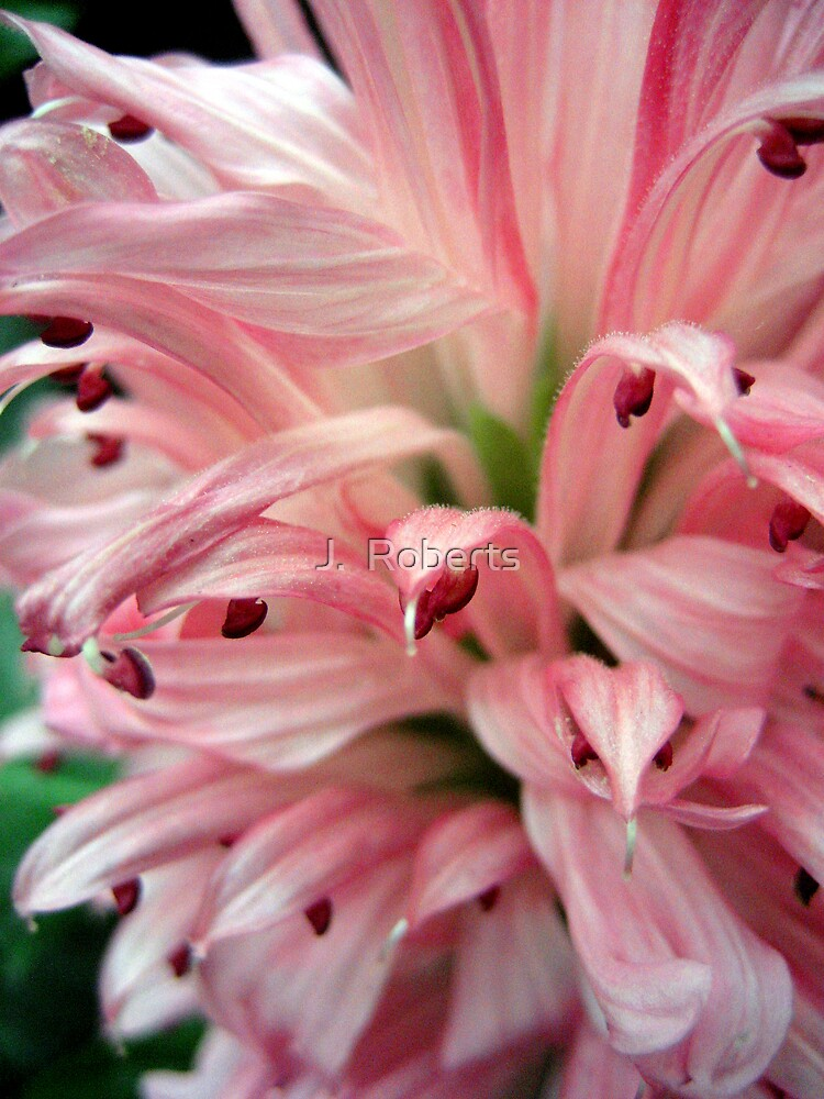 Pink by J.  Roberts