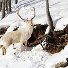 Unusual White Deer by vette