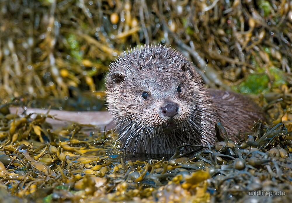 Young Otter by wildlifephoto