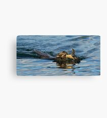 Otter swimming with crab Canvas Print