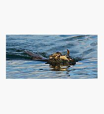 Otter swimming with crab Photographic Print
