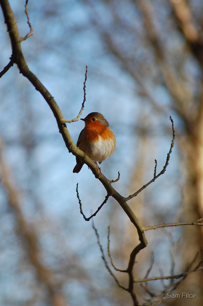 Robin by Sam Filce
