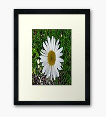 Oxeye Daisy in a Pebbled Garden Framed Print