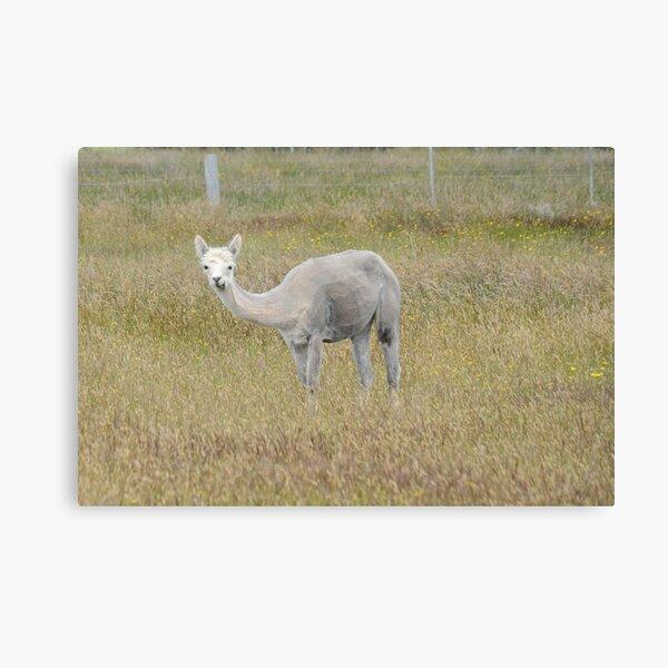 Alpaca in a field Canvas Print