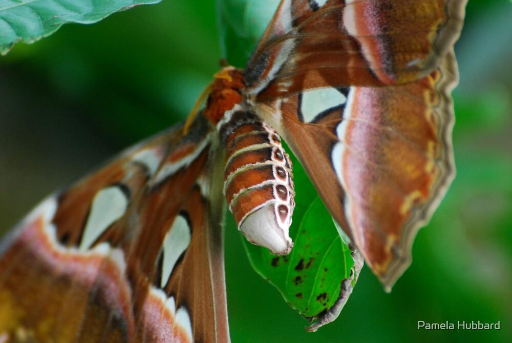 Caesar's Atlas Moth IV by Pamela Hubbard