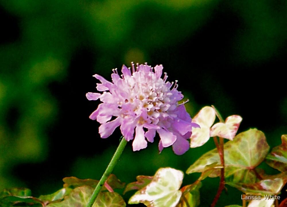 The Last Bloom by Larissa  Plain