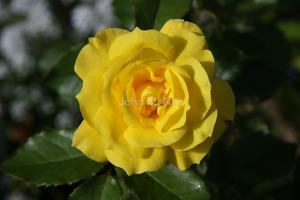 It's the Yellow Rose of ....... by John McNair