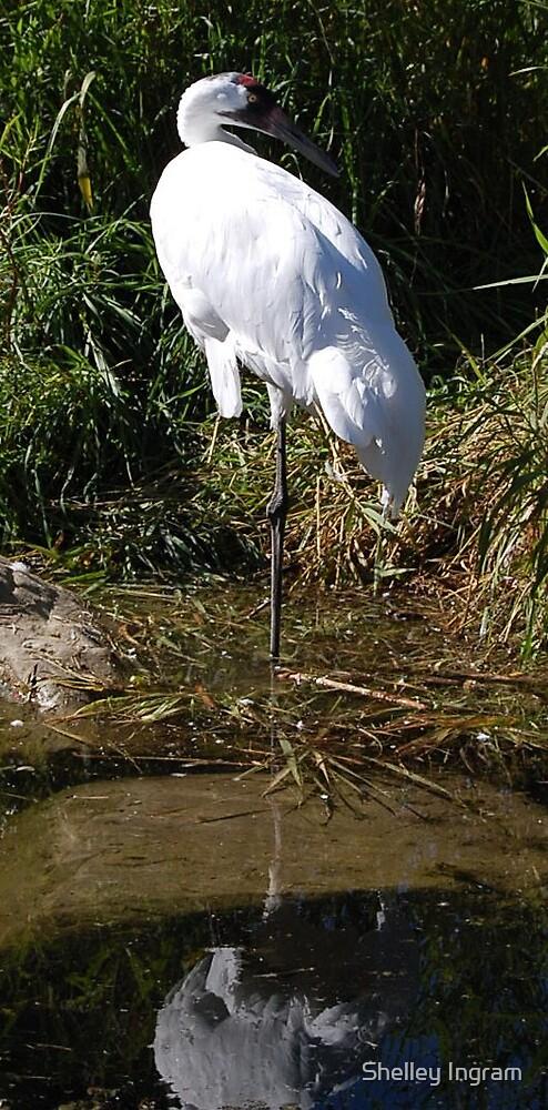 Whooping Crane by Shelley Ingram