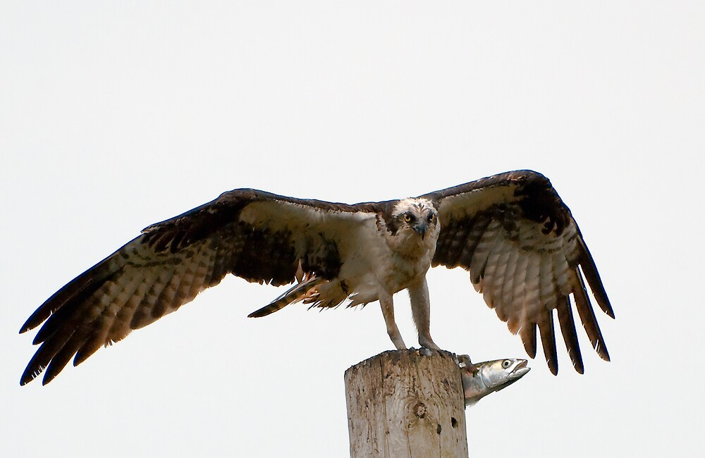 An Osprey on a pole with a live fish by MarkEmmerson