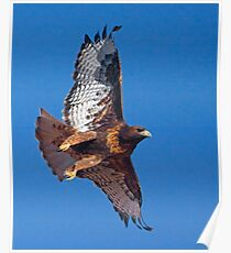 Dark Morph Red-Tailed Hawk Poster