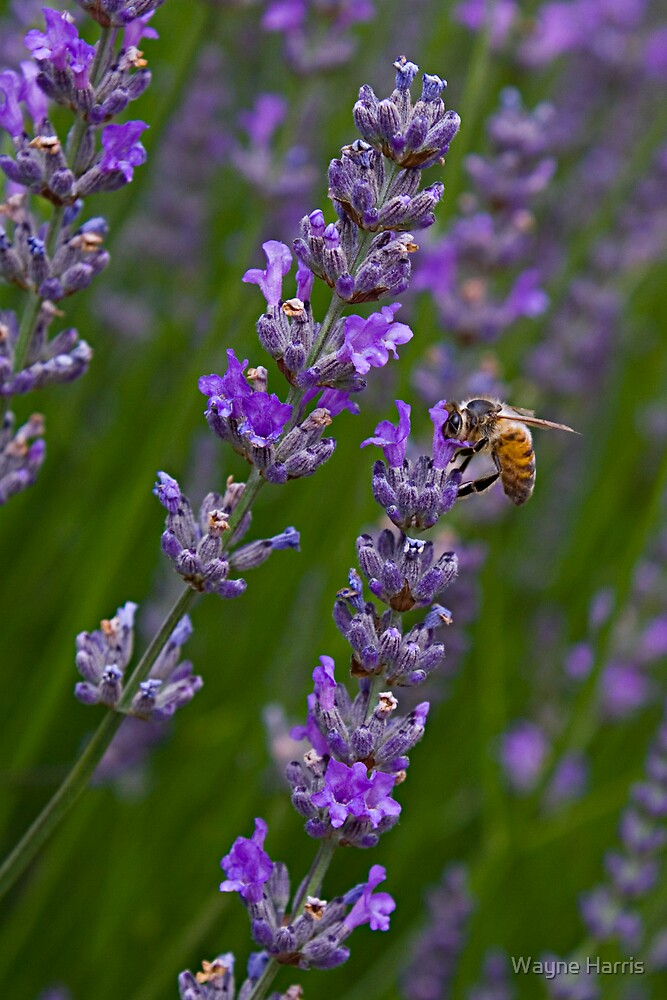Bee On Lavendar by Wayne Harris