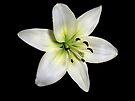 White Lily  by Sandy Keeton