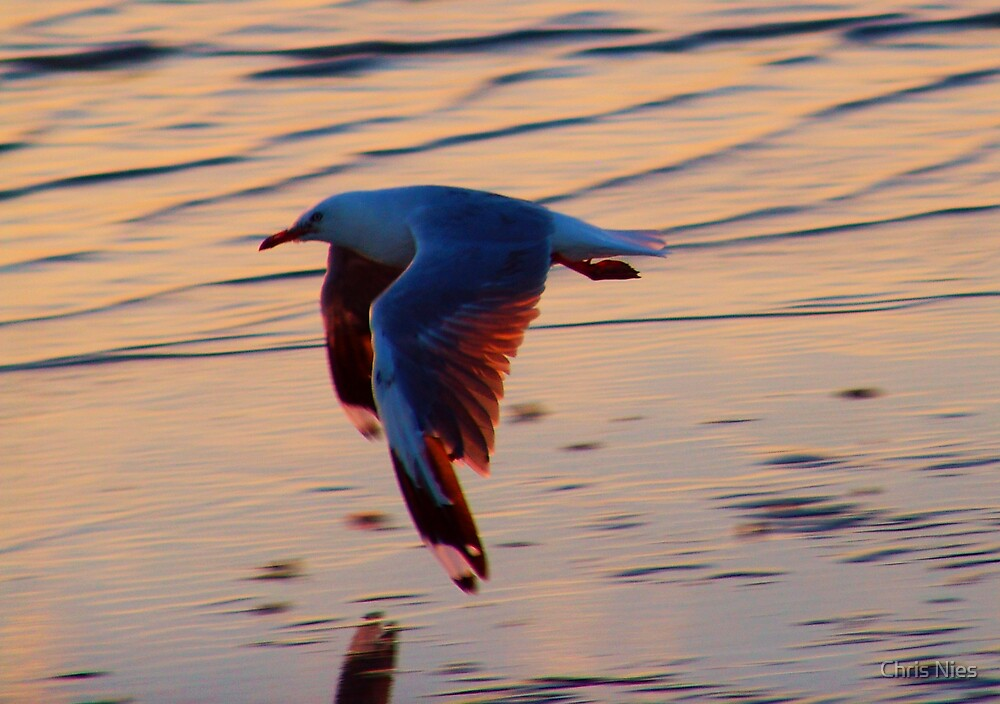 Low Flying Gull by Chris Nies