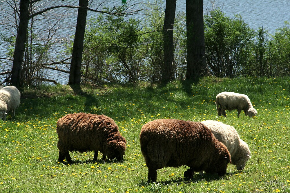 Sheep in the meadow by jeffrae