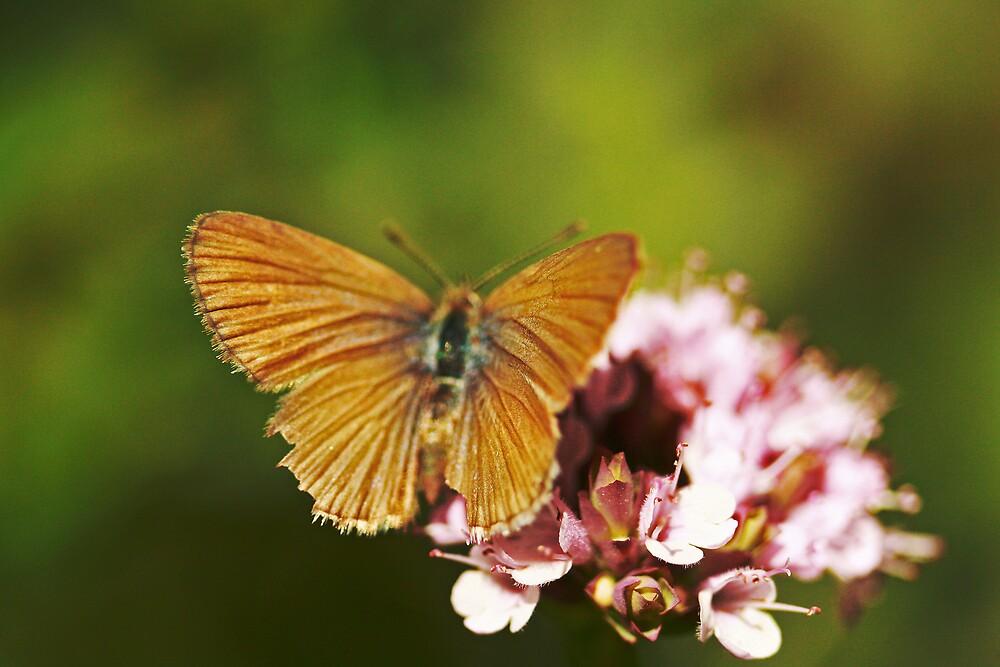 garden butterfly by sidewaysglance