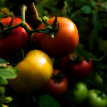 Home Grown Tomatoes by funkyb