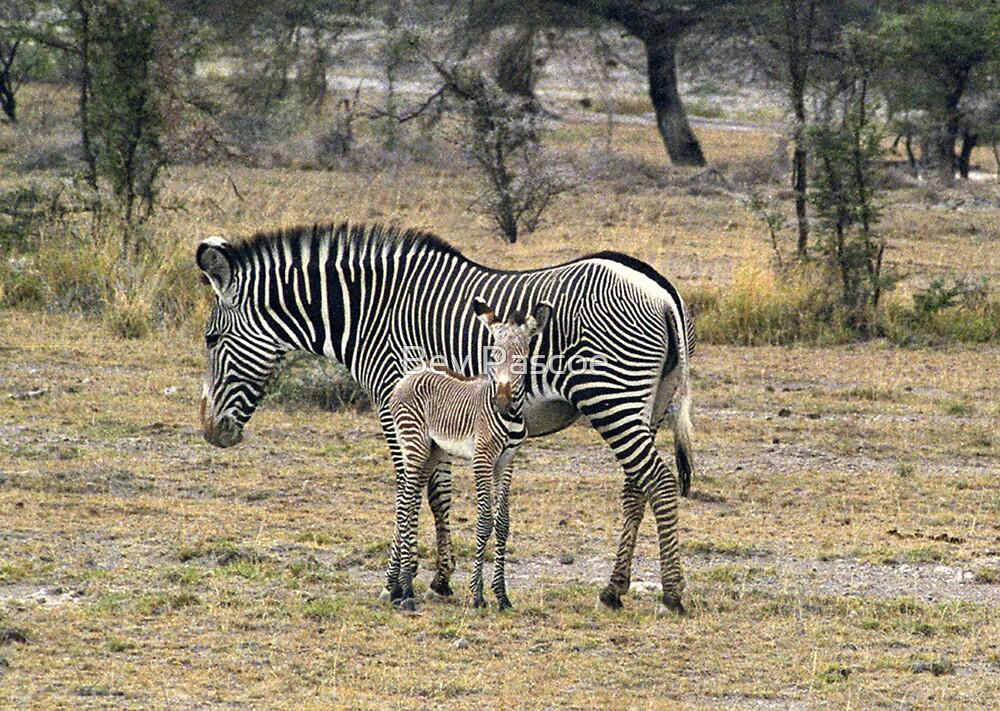 Grevy's Zebra & Foal, Central Kenya,  Africa by Bev Pascoe