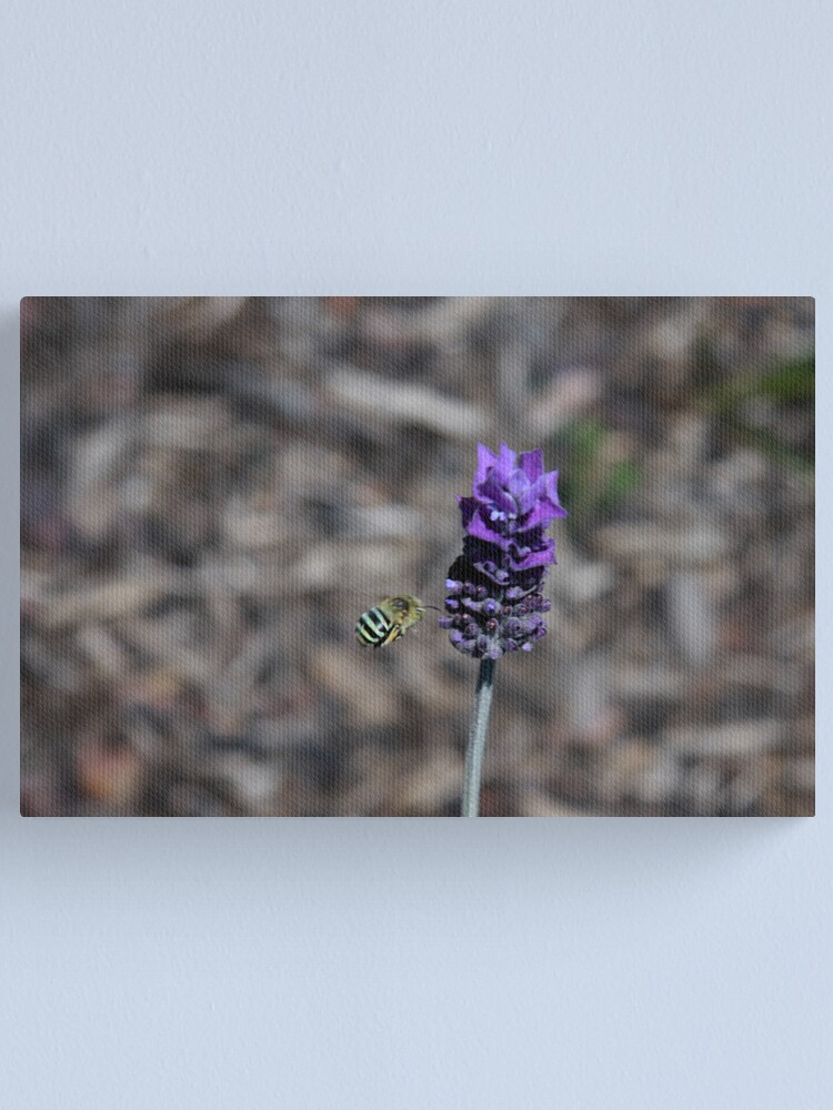 Alternate view of Blue banded bee Canvas Print