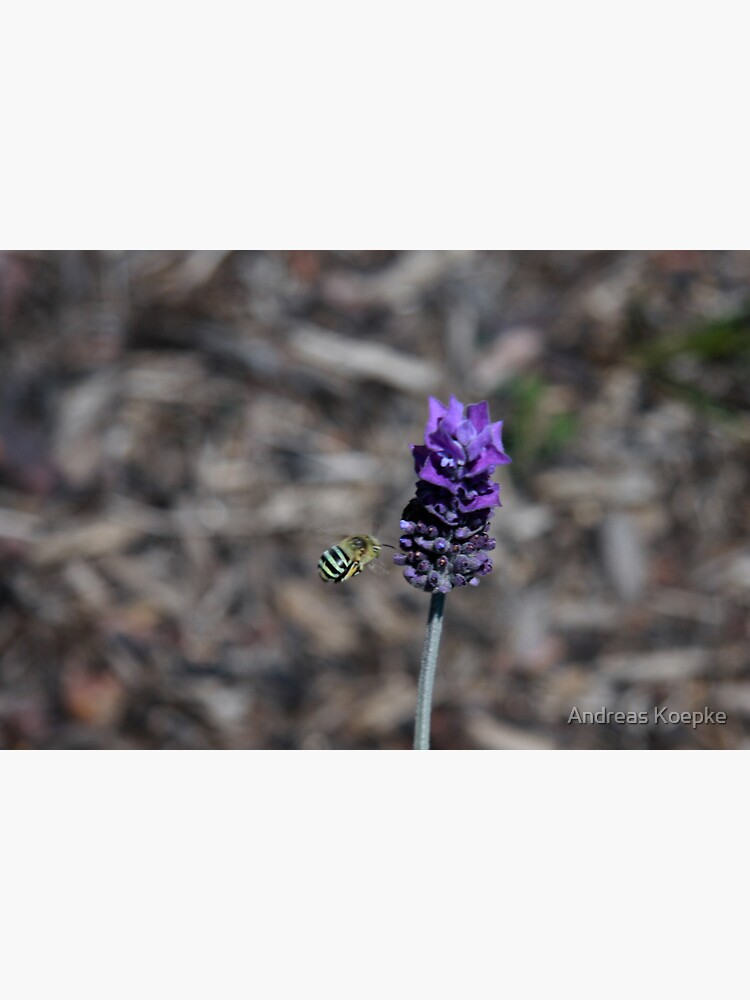 Blue banded bee by mistered