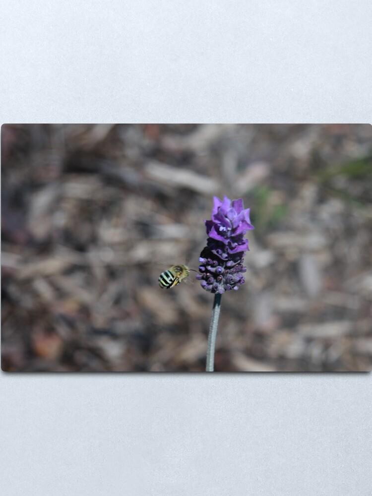 Alternate view of Blue banded bee Metal Print