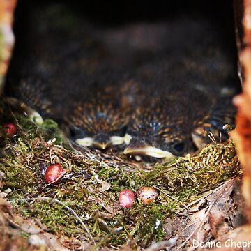 Baby Robins by donnachapman
