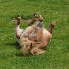 Appaloosa Pony having a good roll by LoneAngel