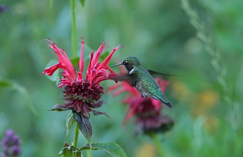 Ruby-throated hummingbird and bee balm by Linda Crockett