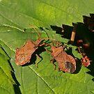 Dock Shieldbugs by Robert Abraham