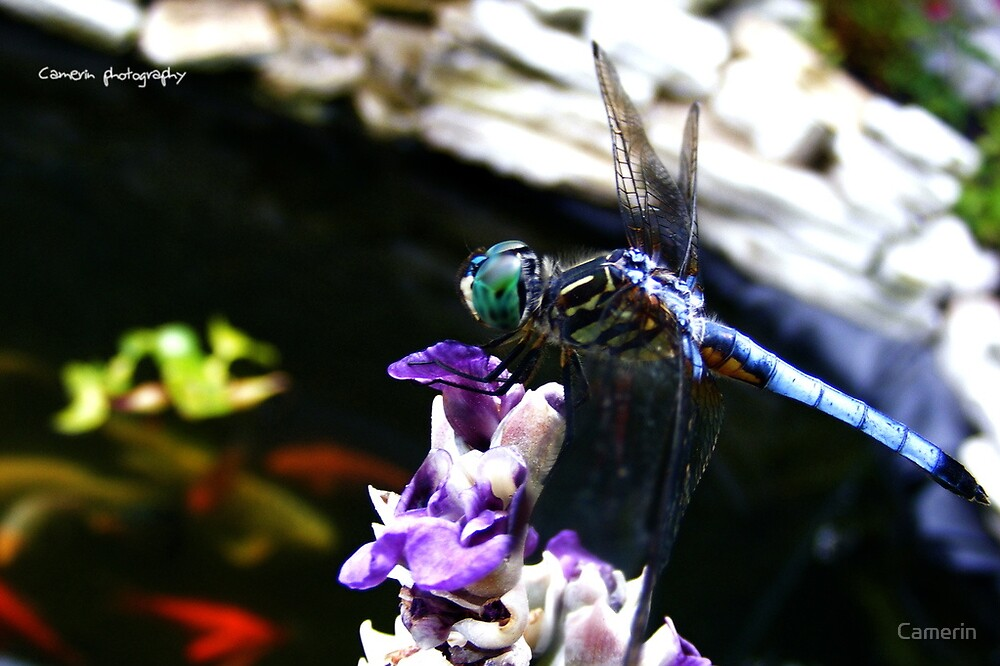 Dragonfly by Camerin