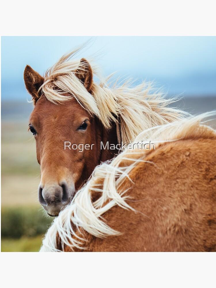 The stunning Icelandic Pony. by didgemack