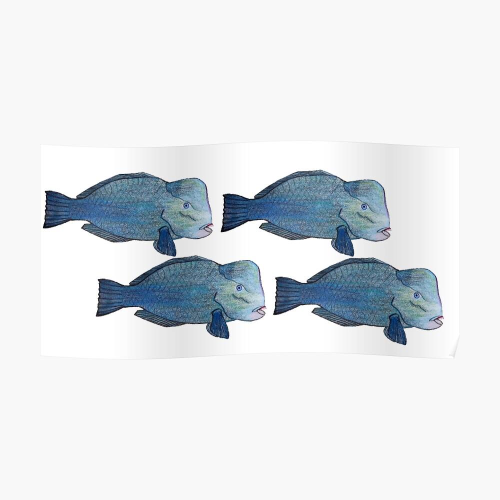 Bumphead Parrotfish Póster
