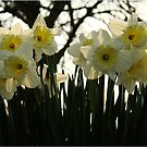 Skelton Village Green - Daffs by Diane Thornton