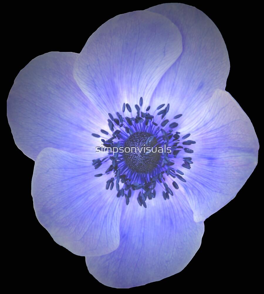 Purple Anemone Flower by simpsonvisuals