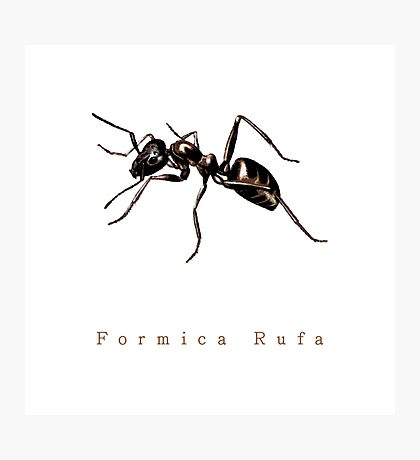 Formica Rufa or just Ant Photographic Print