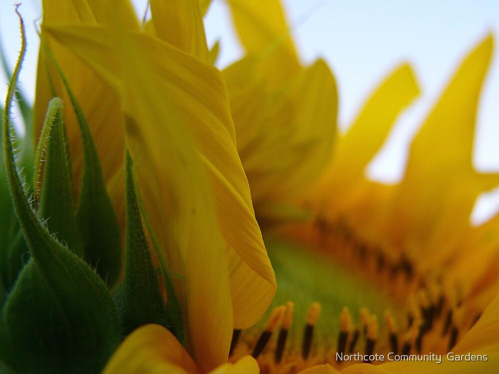 Sunflower by Northcote Community  Gardens