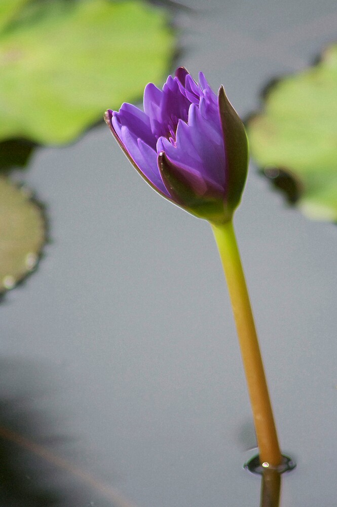 purple water lily by Sol Whiteley