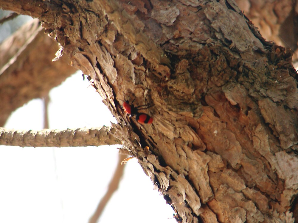 Red Velvet Ant Climbing Pine Tree by richard dailey