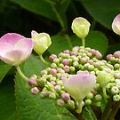 hydrangea before fully blooming by annet goetheer