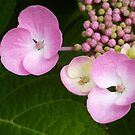 hydrangea , almost blooming by annet goetheer