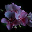 Pink beauty by Brad Chambers