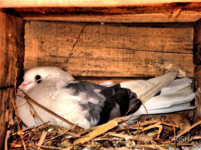 "Bird of peace by "" RiSH """
