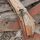 Common Flatwing Damselfly by Andrew Trevor-Jones