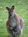 kangaroo by butterfly77