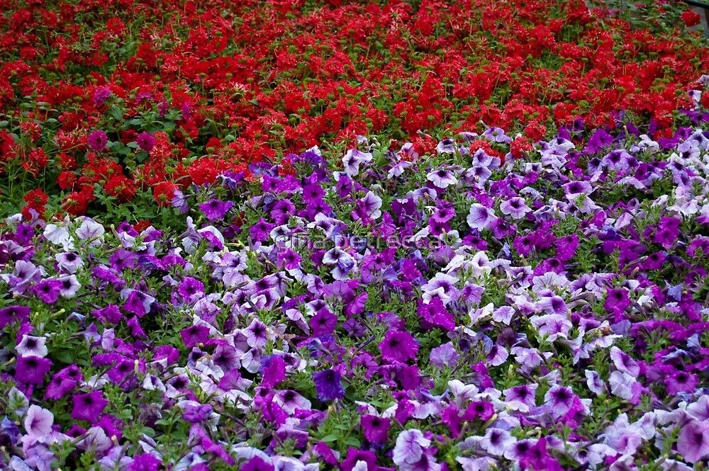 purple and red flowers by gina petrecca