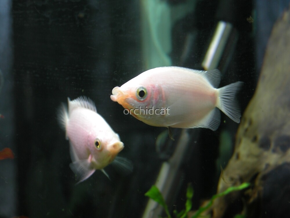 Air kissing gourami by orchidcat