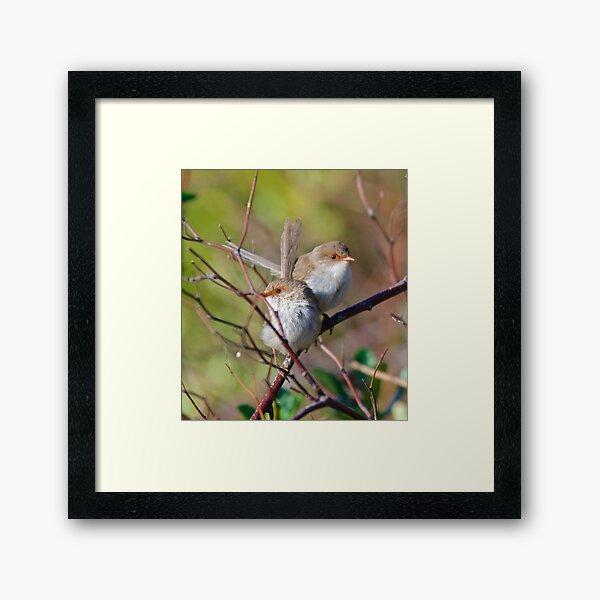 WREN ~ Superb Fairy-wren M5UGzxa2 by David Irwin ~ WO Framed Art Print