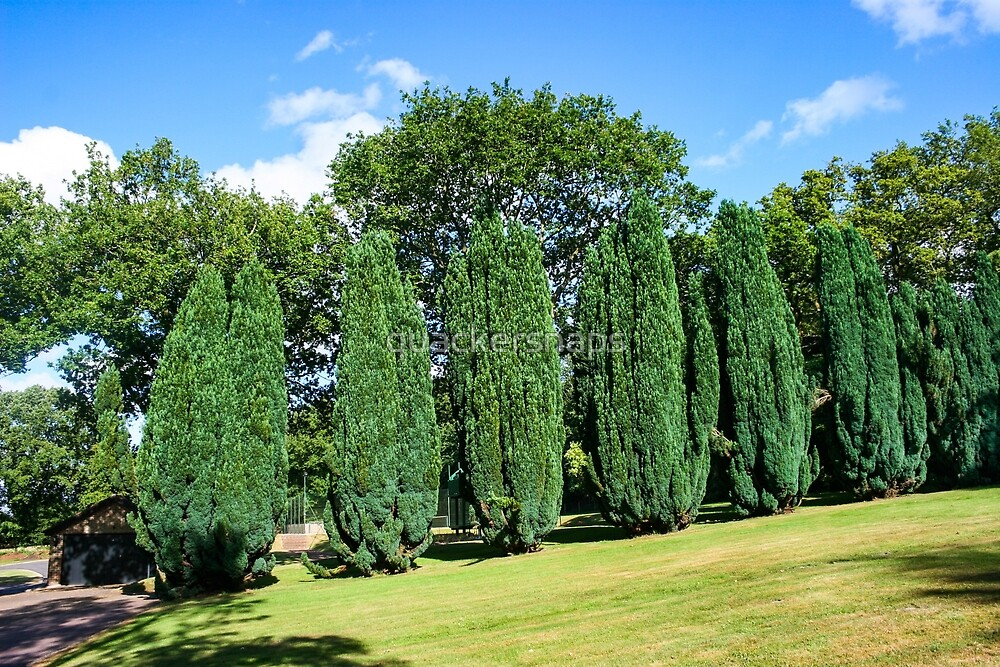Conifer Trees by quackersnaps