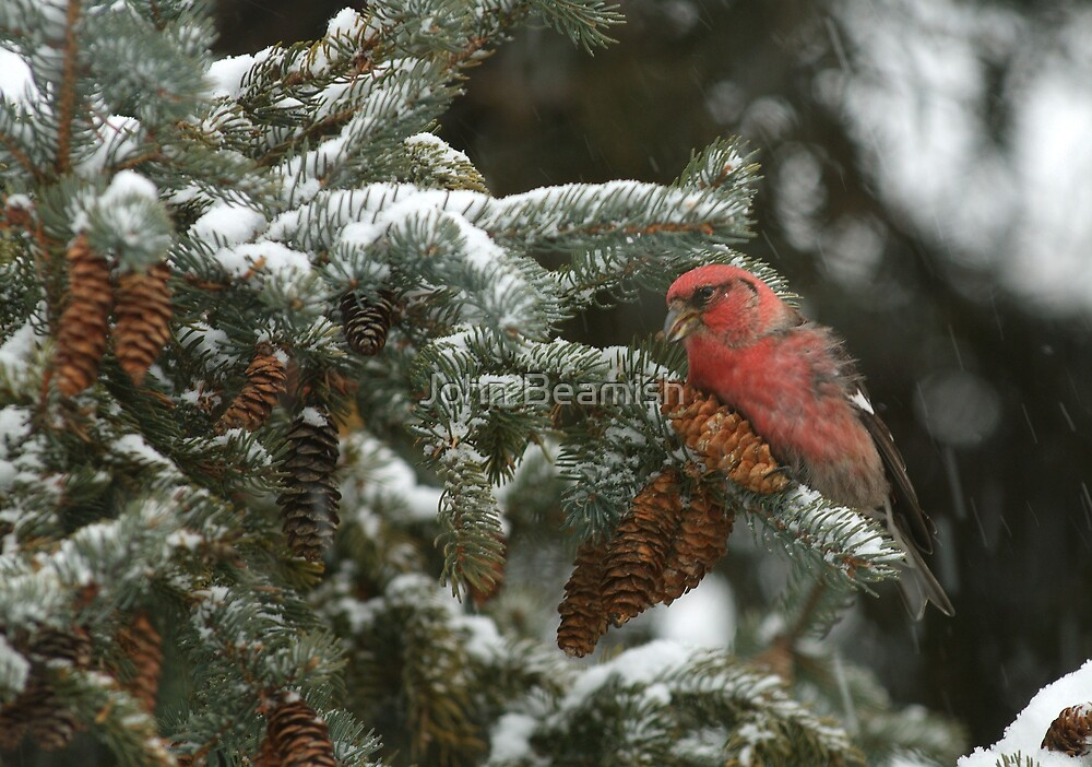 White-winged Crossbill by John Beamish