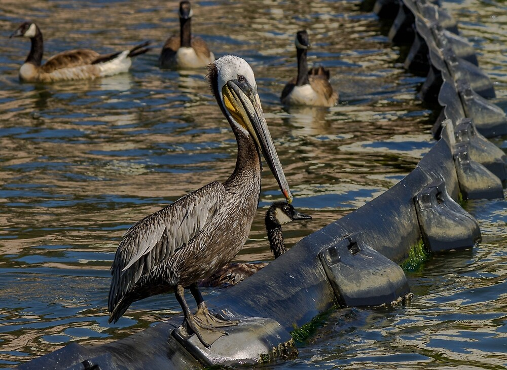 Brown Pelican Blues by teasingimages