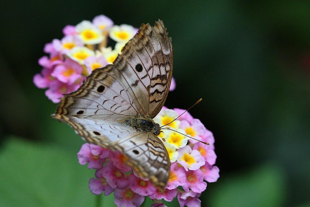 Butterfly 0313 by Doug Wilkening